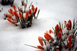 Spring trying to come through the snow!
