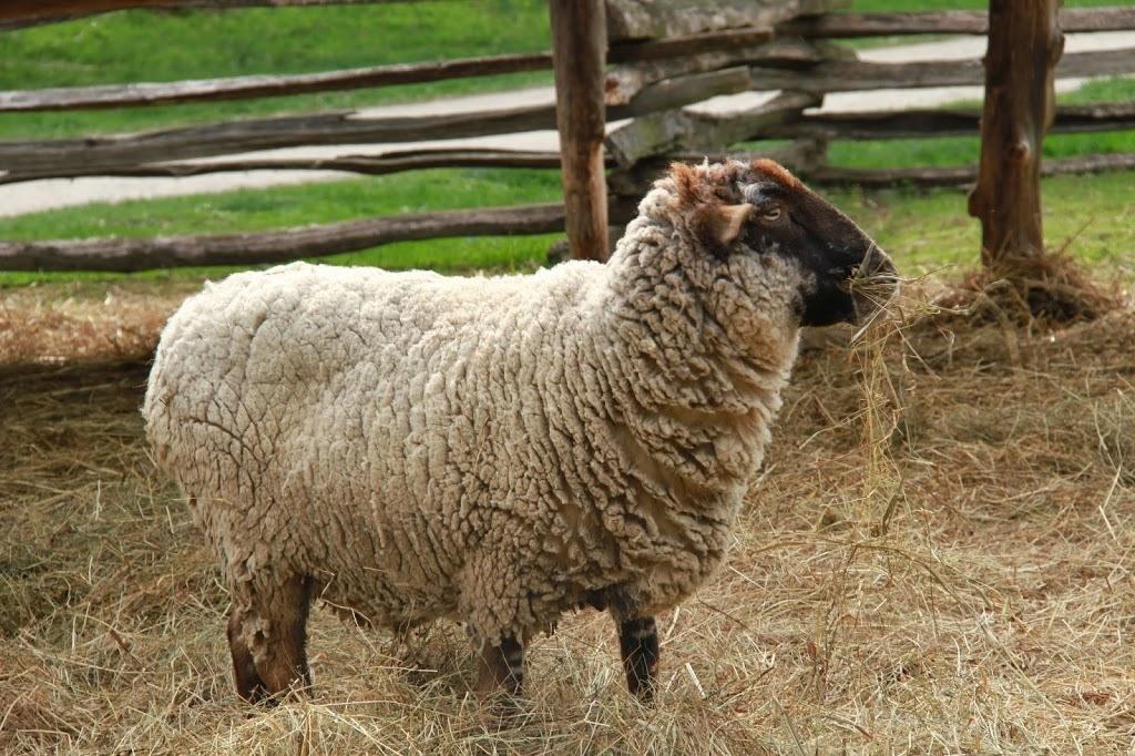 Sheep at Mount Vernon