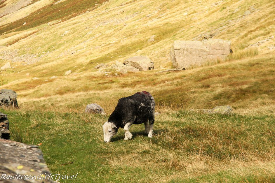 Sheep Grazing in the Lake District