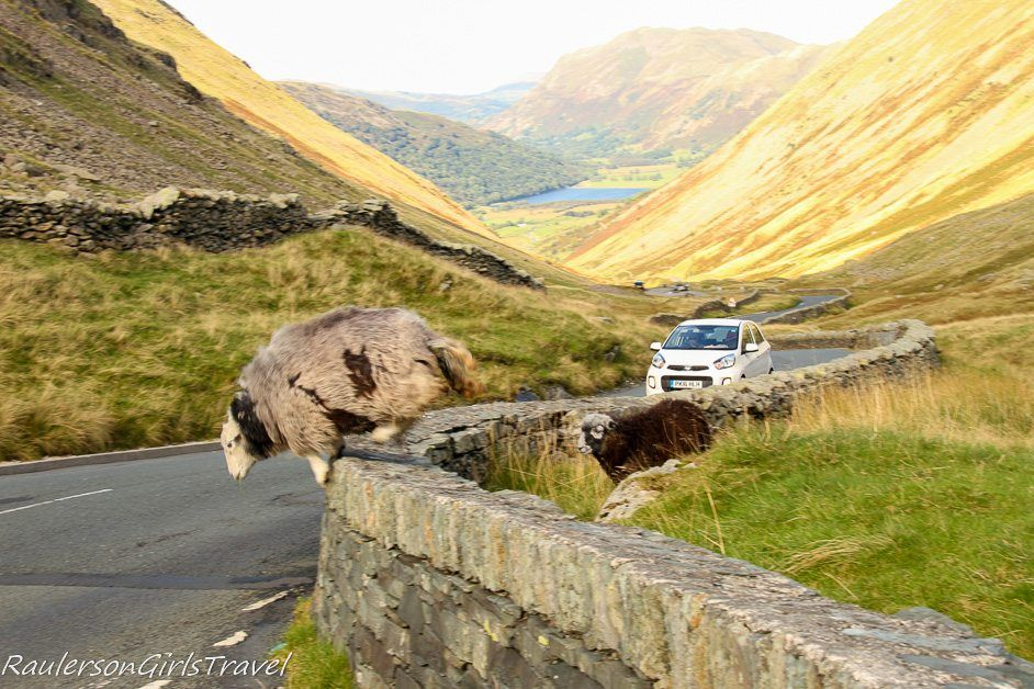 two sheep jumping over stone wall in front of car