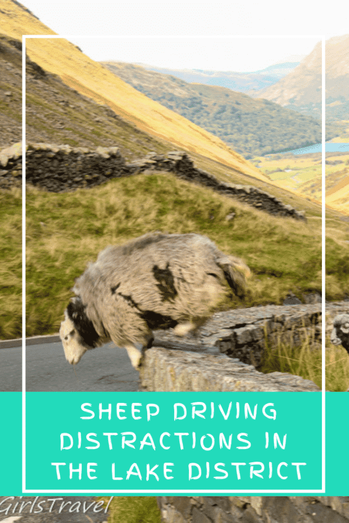 Sheep Driving Distractions Pinterest Pin