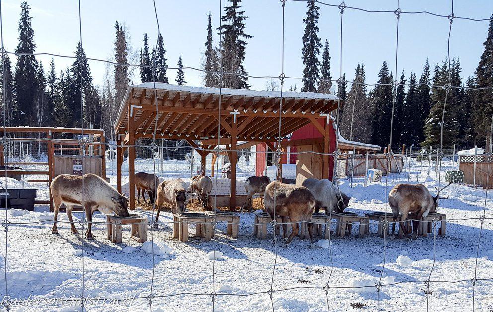 Reindeer eating at Antler Academy in North Pole, Alaska
