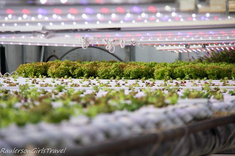 Lettuce growing in Chena Hot Springs Resort Greenhouse