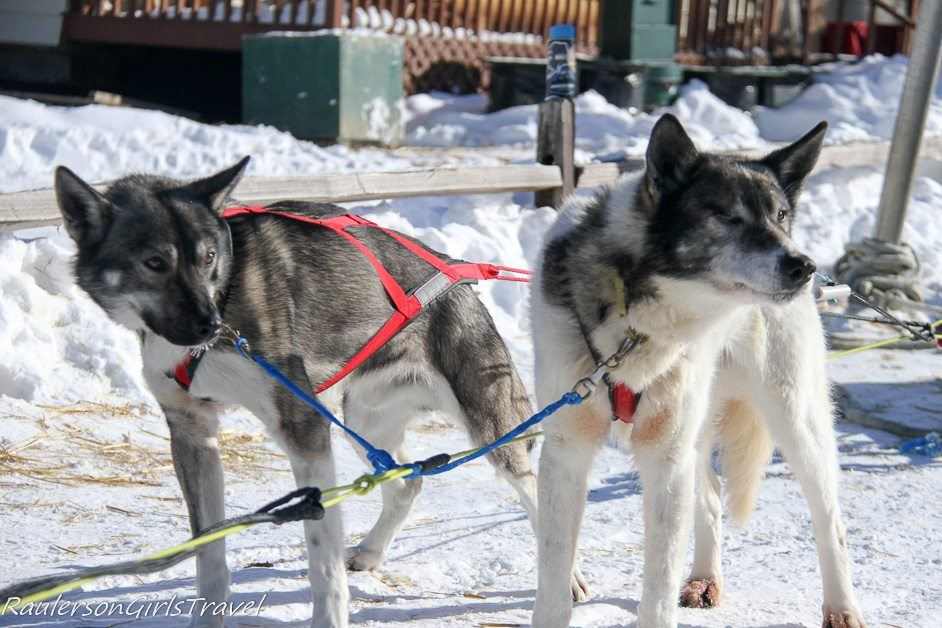 Team Dogs waiting to pull sled