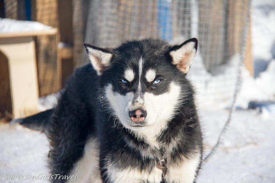 Adams' blue-eyed Husky dog