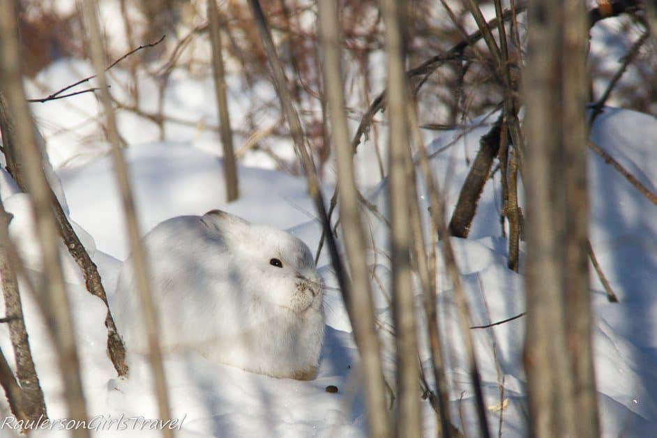 White rabbit hiding in the trees in Beaver Village Alaska