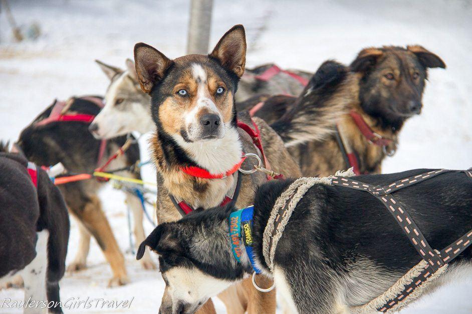 Blue eyed Husky sled dog waiting with pack