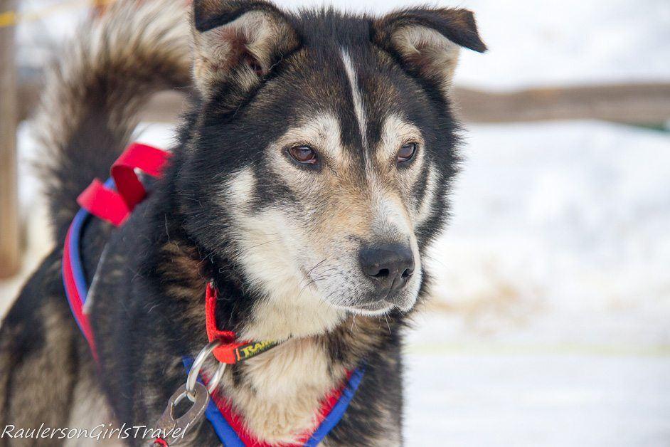 Brown eyed husky sled dog