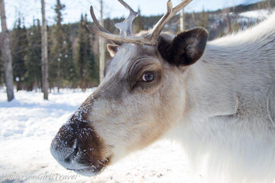 white reindeer up close