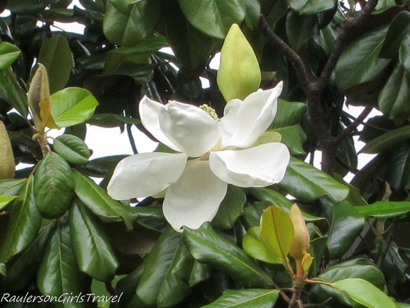 Magnolia blossom in Huntsville, Alabama