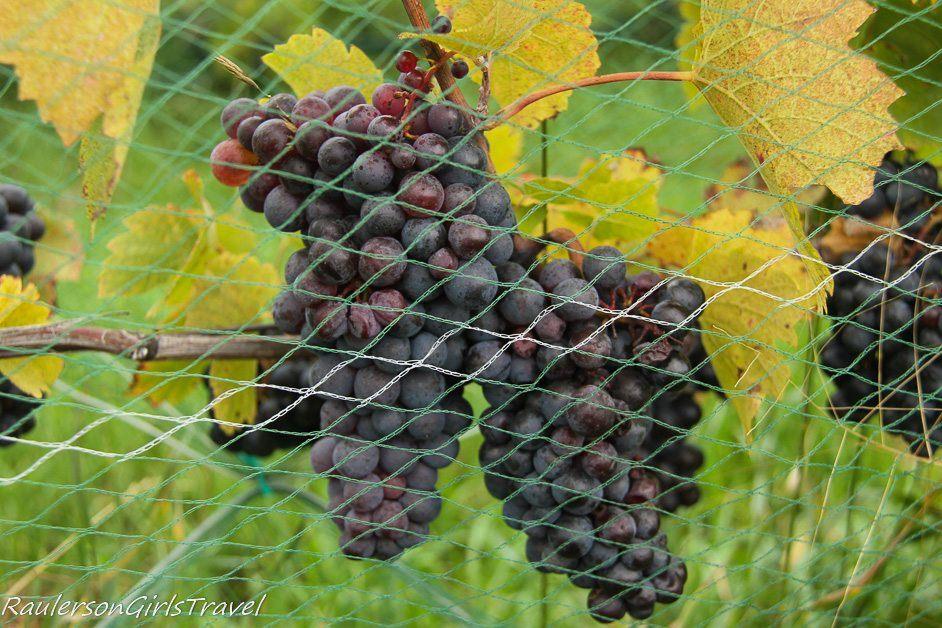 Grapes in Traverse City - Delight in a Fall Color Road Trip Through Michigan