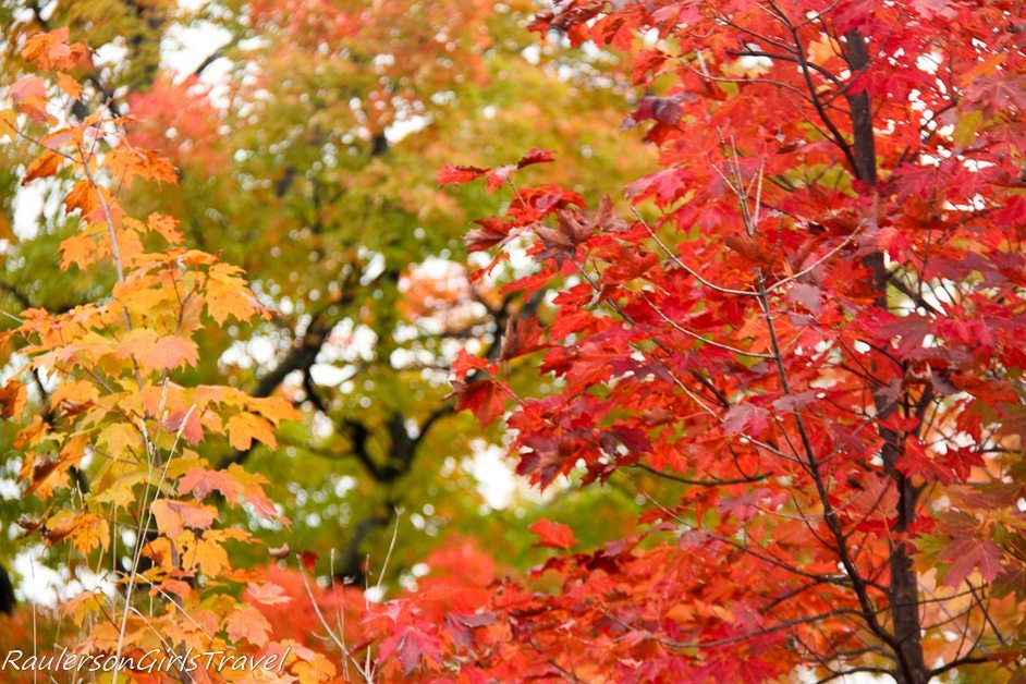 Fall Color trees with red leaves