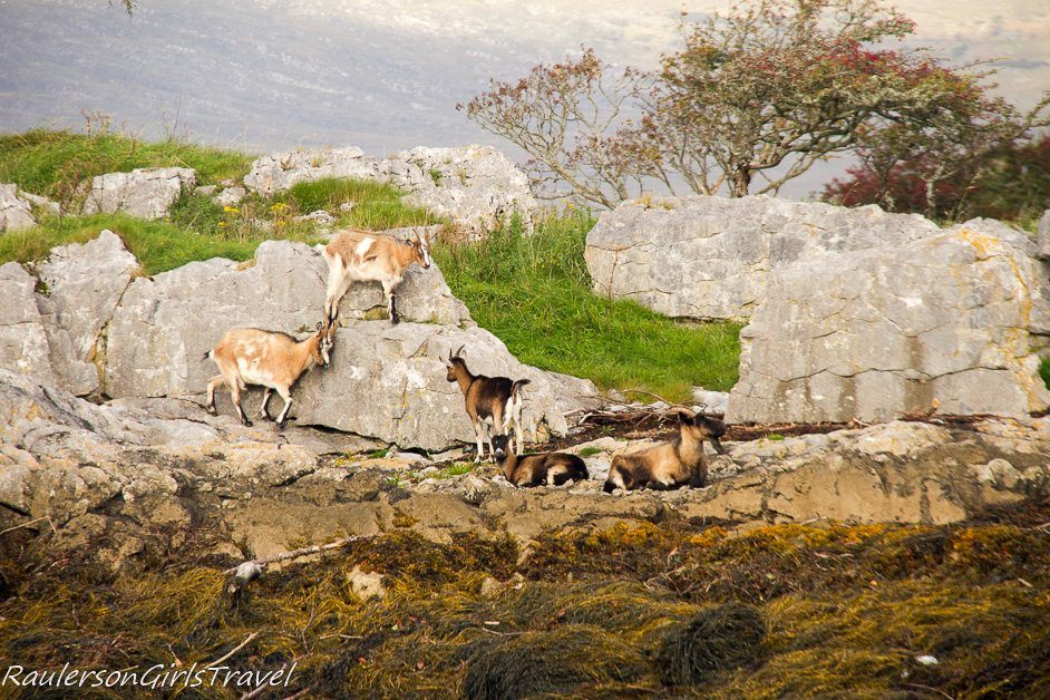 Goats on the Iveragh Peninsula in Kenmare Bay