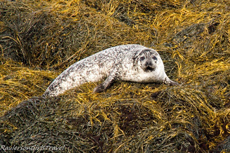 Seal laying on seaweed on Seafari Cruise