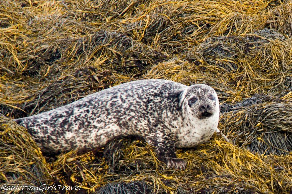 Seal laying on seaweed