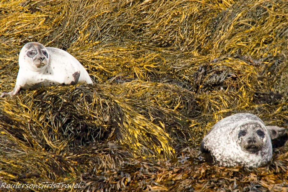 Two seals on Kenmare Bay