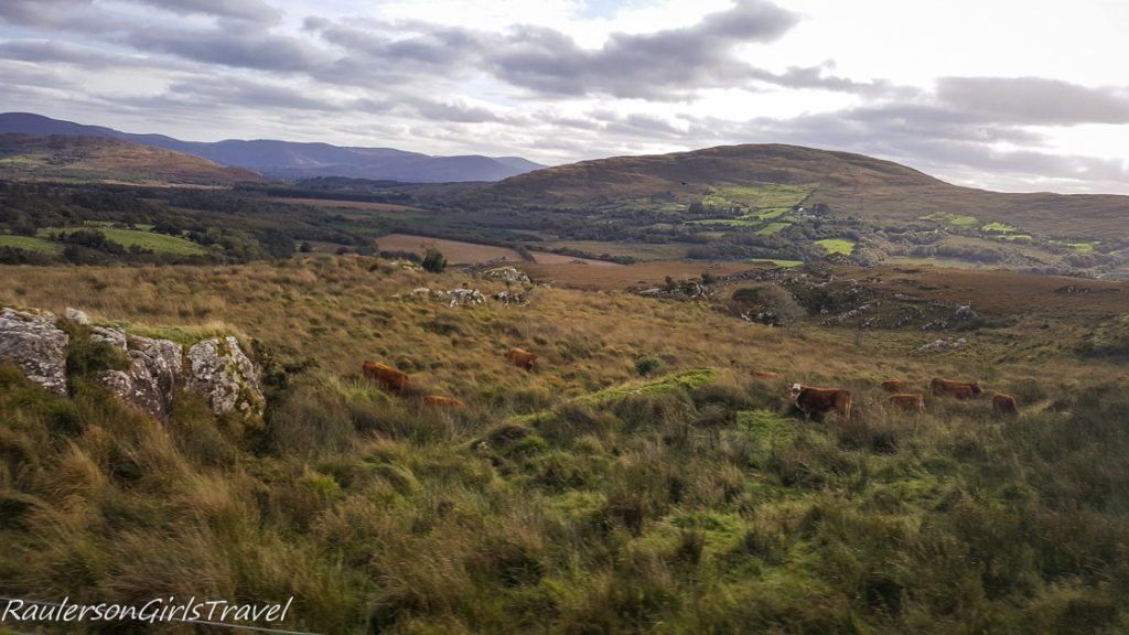 Cows grazing in the Lush Green Views Along the Ring of Kerry