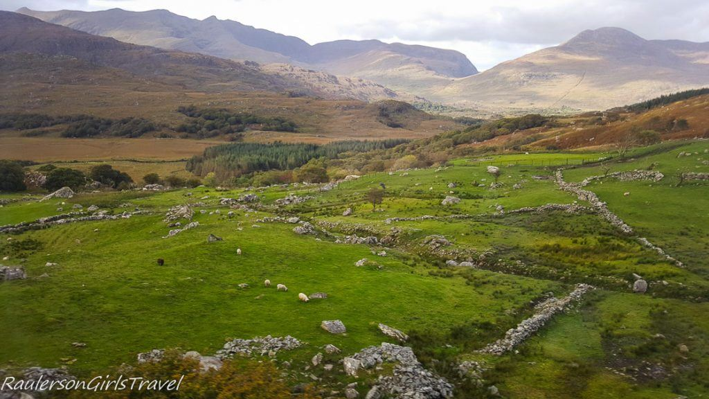 Sheep grazing among stone walls at Kissane Sheep Farm in the Ring of Kerry, Ireland
