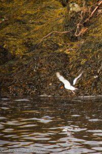 Oystercatcher bird in flight at Kenmare Bay