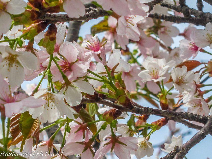 White Cherry Blossoms close up in Washington DC