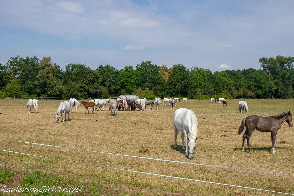 National Stud Farm at Kladruby nab Labem horse fields