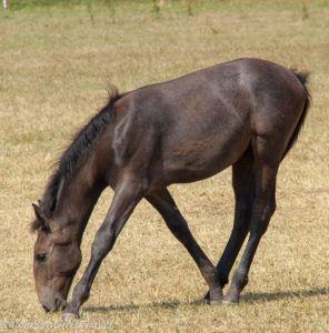 black foal horse