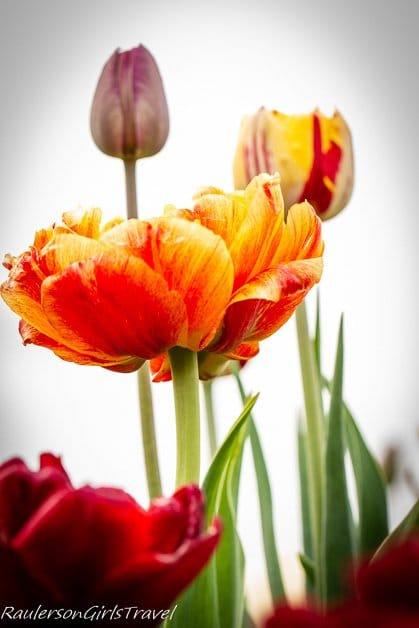 Tulip Festival Holland Michigan