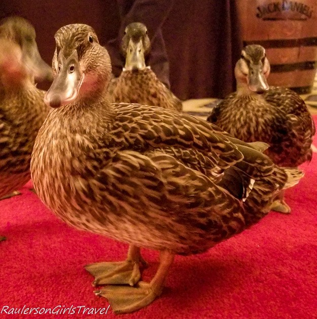 Ducks marching at The Peabody Hotel
