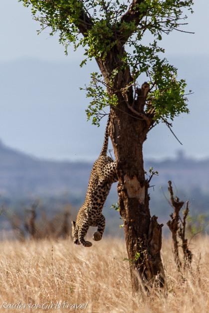 Leopard jumping off tree in Tarangire Tanzania