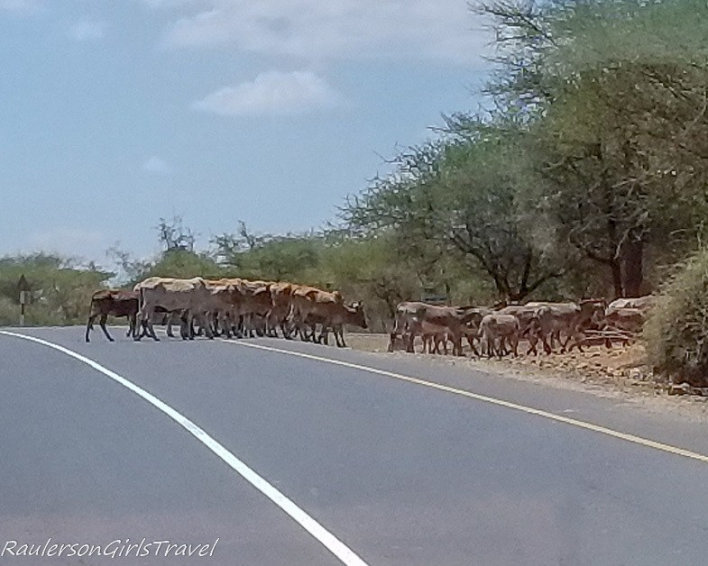 Cattle crossing the Road
