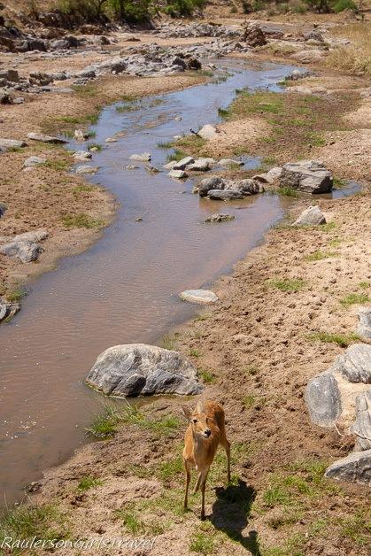 Impala along a stream