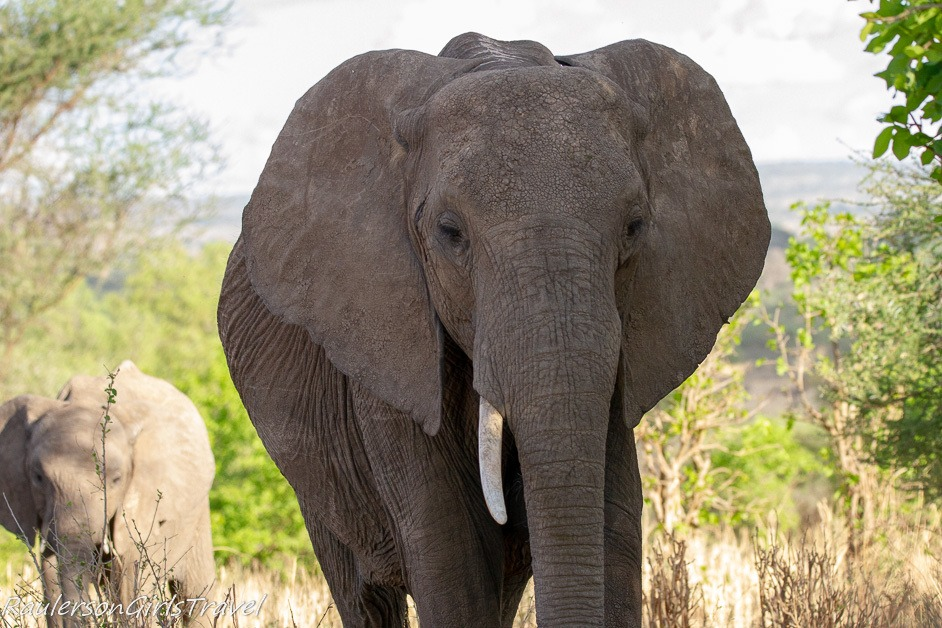 Frontal view of African elephant