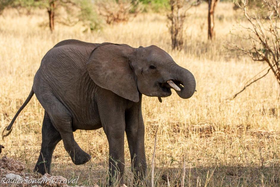 Baby elephant eating and walking