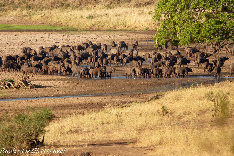 Herd of Buffalo at watering hole