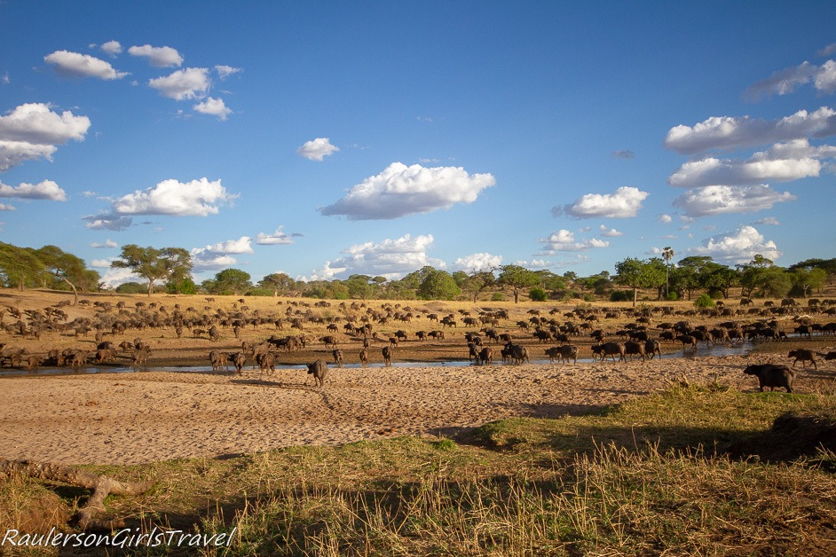 Herd of Buffalo at watering hole in Tarangire National Park