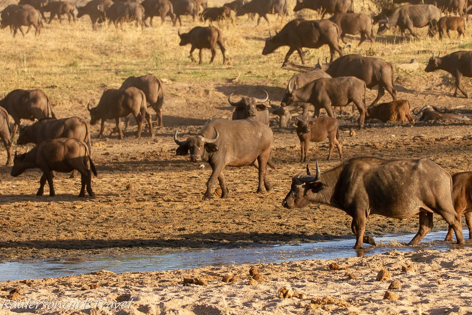 Buffalo at Watering hole