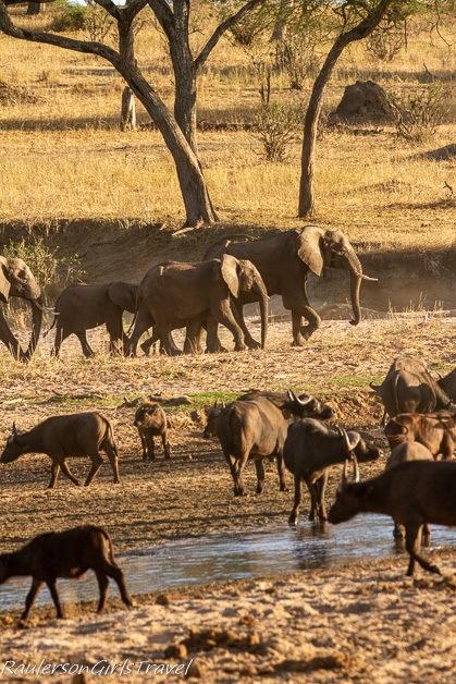 Buffalo and Elephants at watering hole