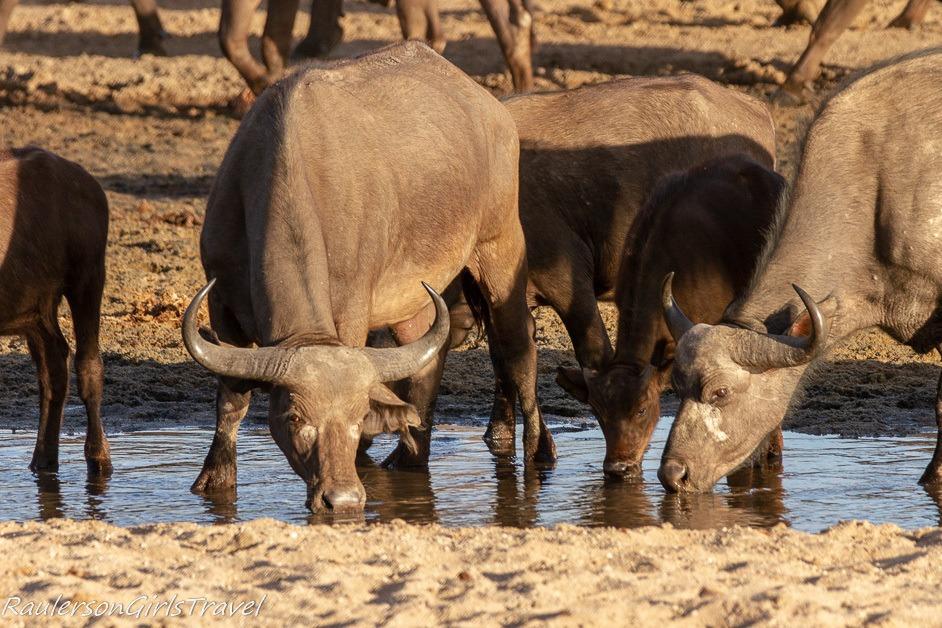 Closeup of Buffalo at Watering hole