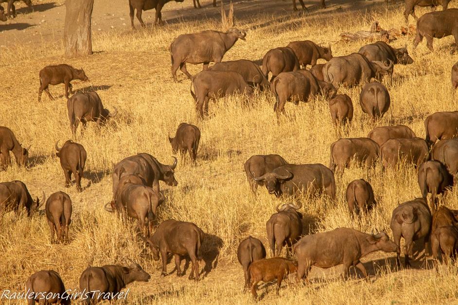 Herd of Buffalo butts