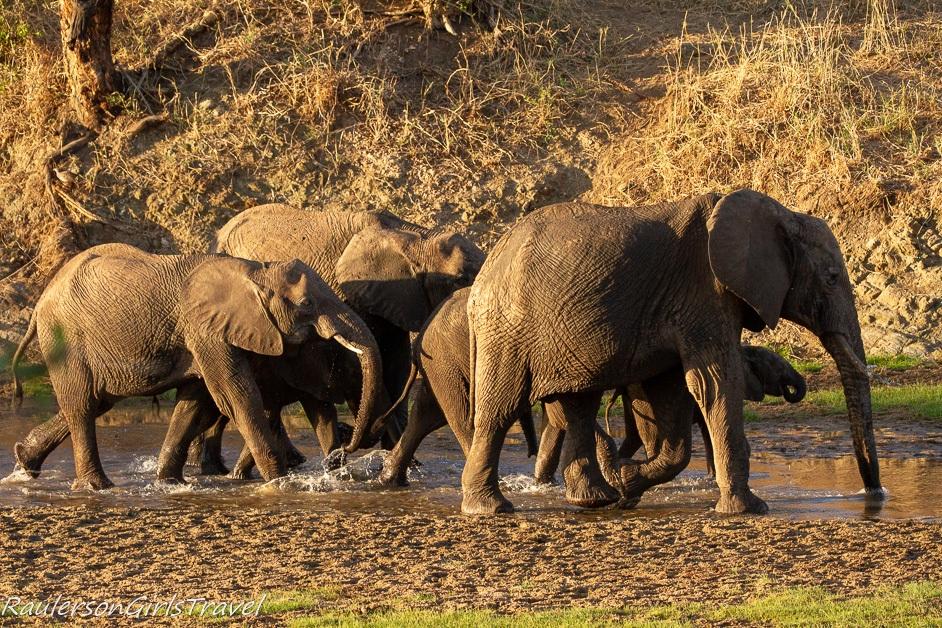 Family of elephants walking in water