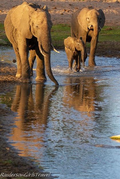 Elephant family walking through water
