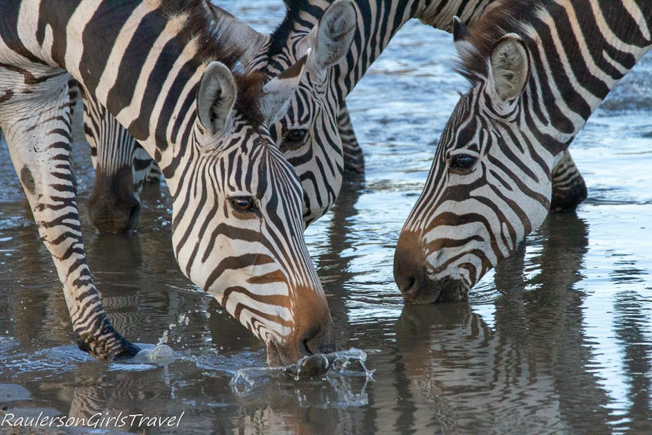 Zebras at watering hole