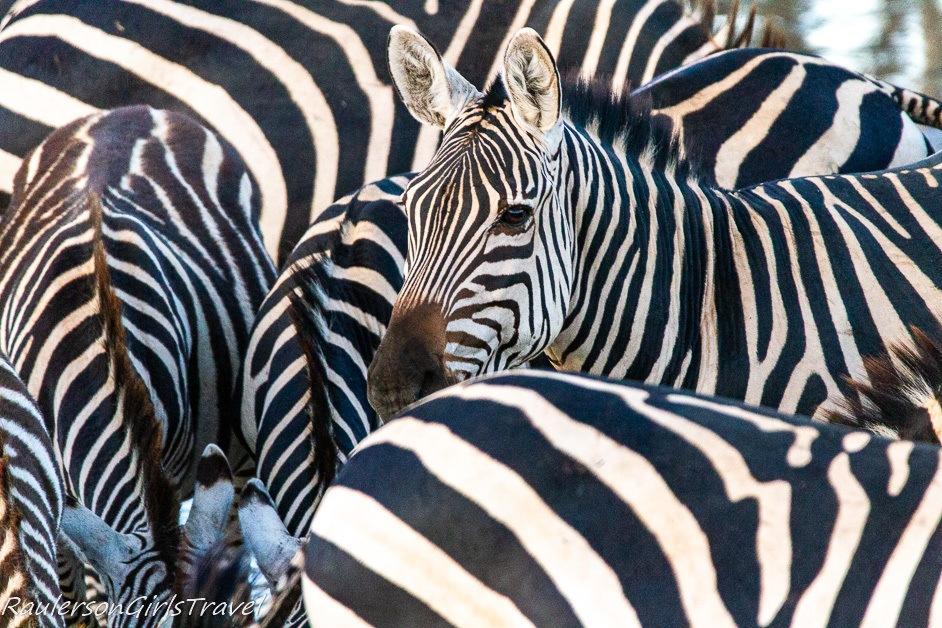 Cluster of zebras