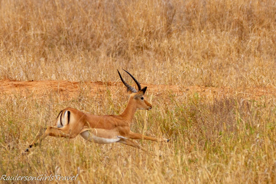 Impala running through the grass