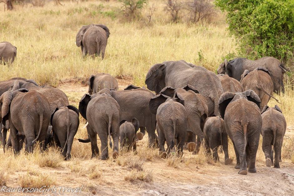 Herd of elephant butts