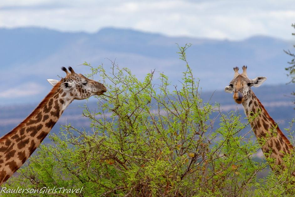 Two giraffes eating leaves
