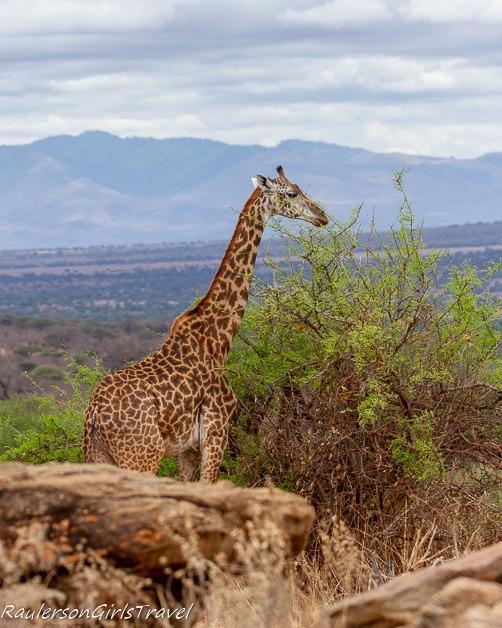 Giraffe munching on a tree
