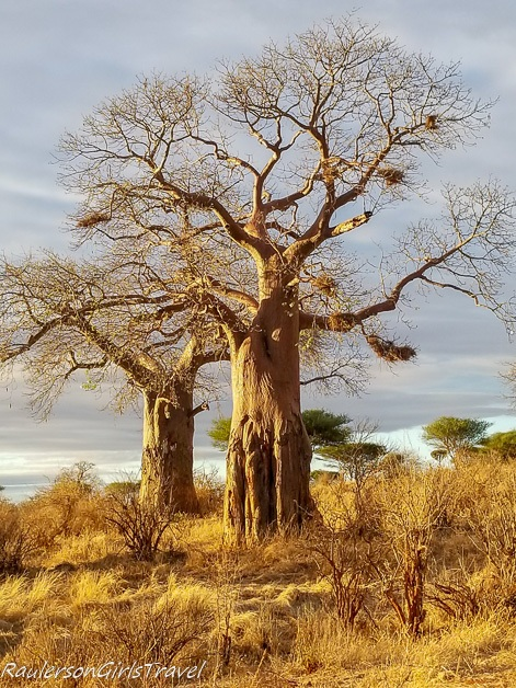 Baobab tree in the golden hour