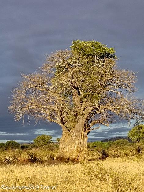 Baobab tree in Tarangire National Park