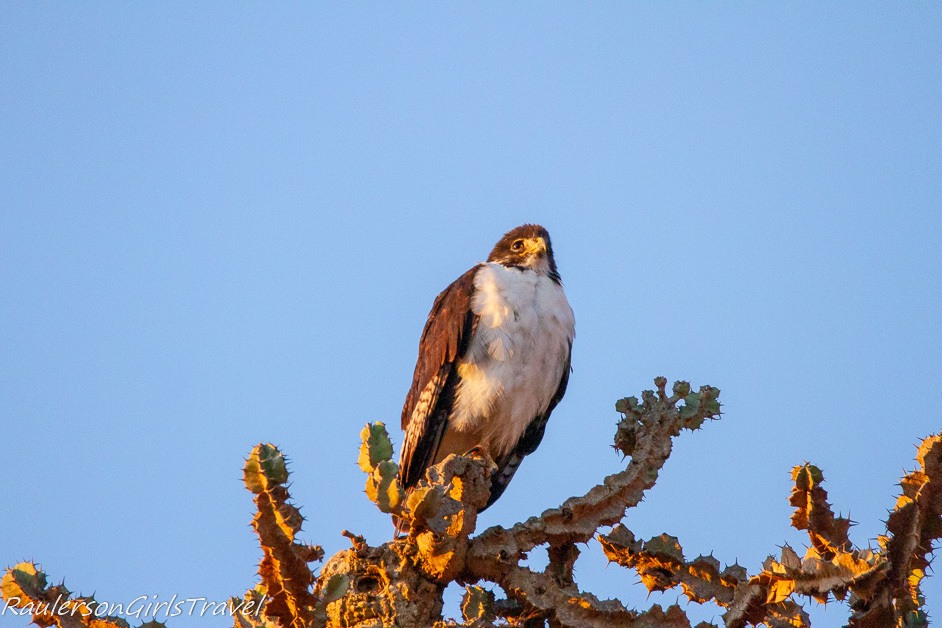 light morph Auger Buzzard